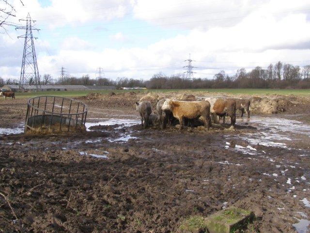 Muddy cows north of Manor House Farm, Nursling