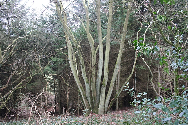 Coppice and Fir, Frith Wood