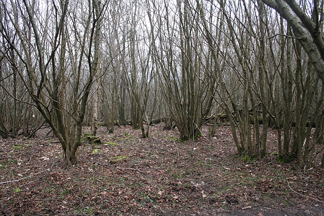 Young Coppice, Frith Wood