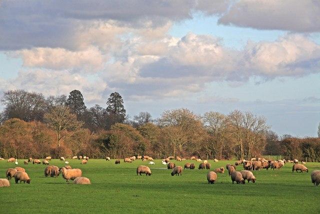 Sheep Pasture, Wimborne Minster 4