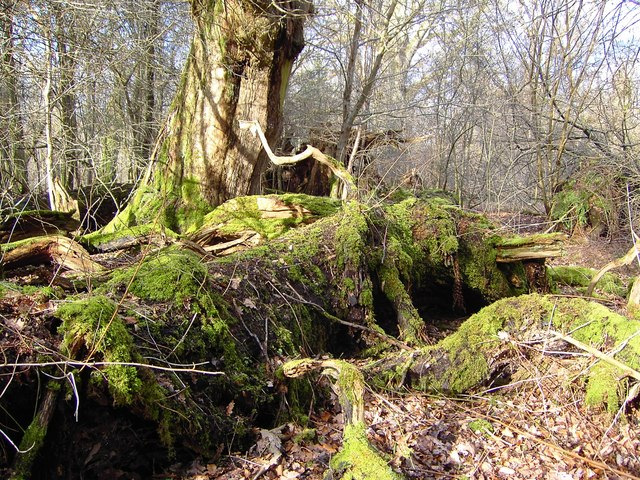 Decaying tree remnants, Savernake Forest