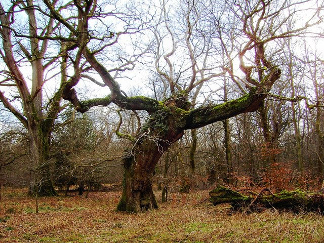 An old, damaged oak, Savernake Forest