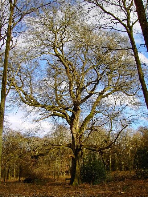 Turkey Oak, Savernake Forest