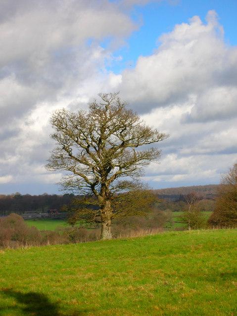 Oak Tree near Pestalozzi