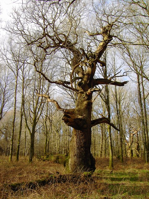 Queen Oak, Savernake Forest