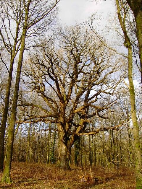 King Oak, Savernake Forest
