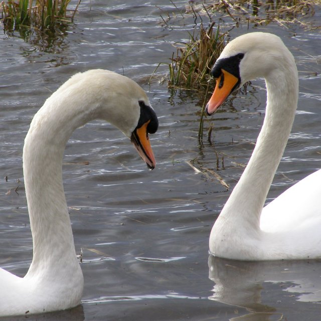 Swans on the flooded River Test