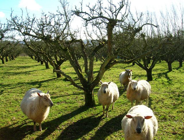 Inquisitive Sheep, Harts Green Farm