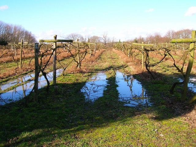 Vines, Carr Taylor Vineyard