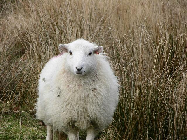 Sheep on Arthog Farm