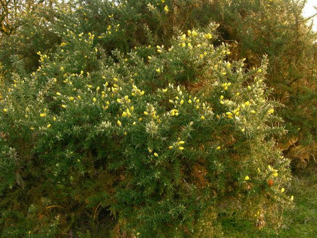 Gorse bush on ridge - Redisher