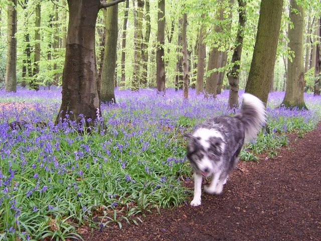 Bluebells in Cawston woods in May