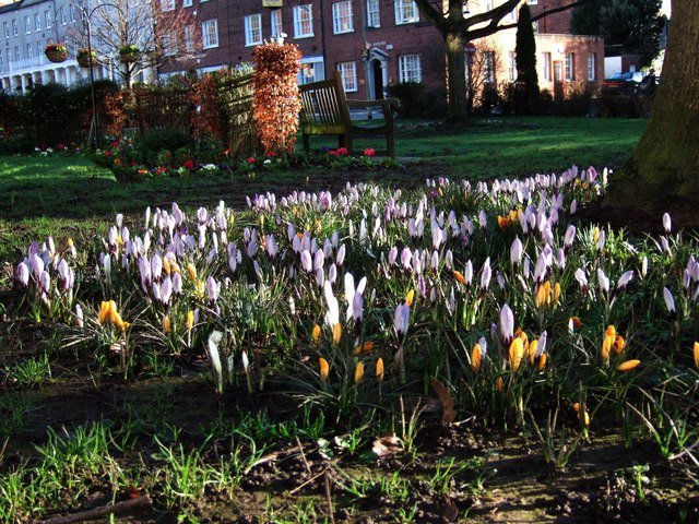 Crocuses on Southernhay Green
