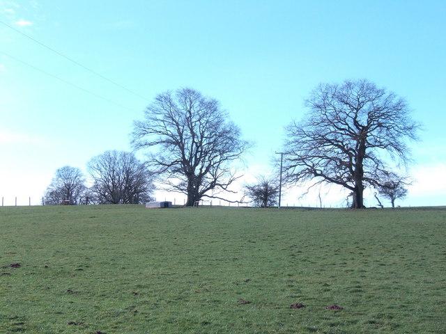 Oaks on the hill
