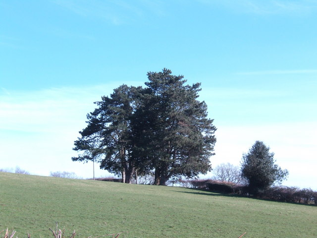 Evergreen copse