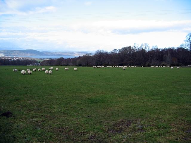 Sheep at Lower Muckovie