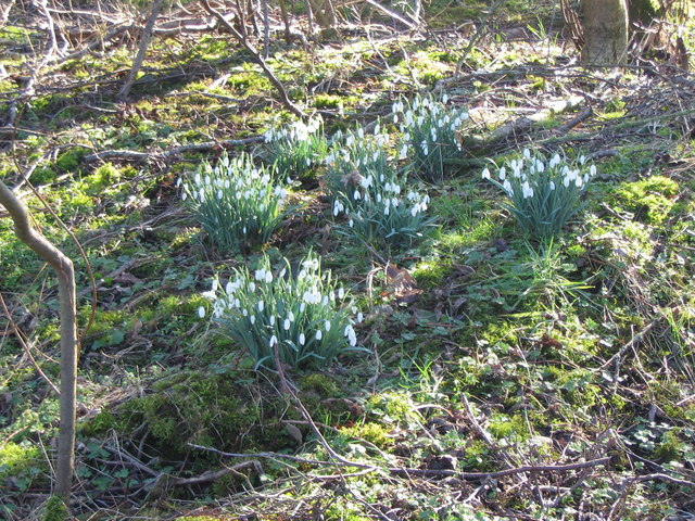 Snowdrops at Crosscanonby Carr