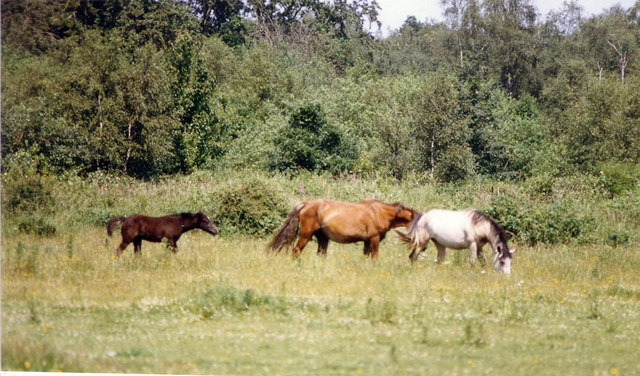 Horses near Denham Airfield, July 1987