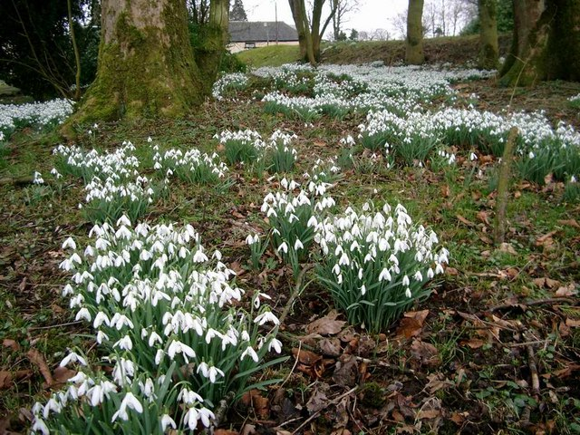 Snowdrops at Lethame House