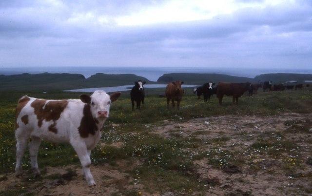 Watsness and cows
