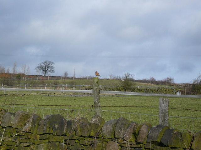Hut Lane - Stonechat on a Fencepost