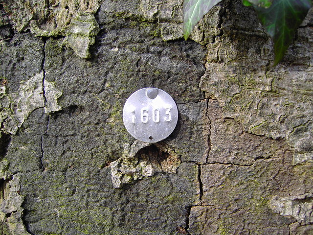 Tree identification tag, Savernake Forest