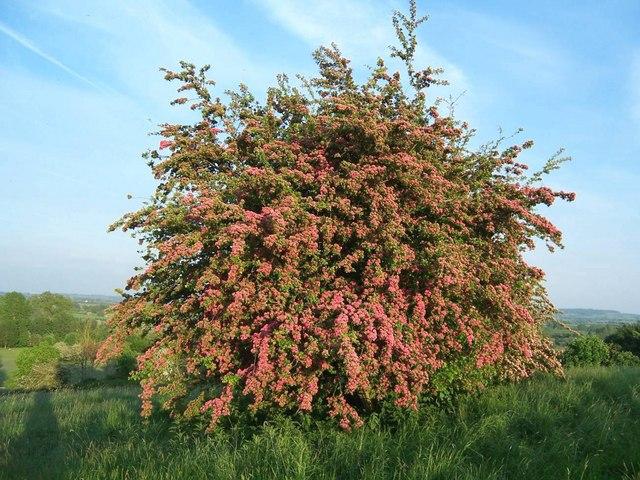 Hawthorn blossom on Hensborough Hill