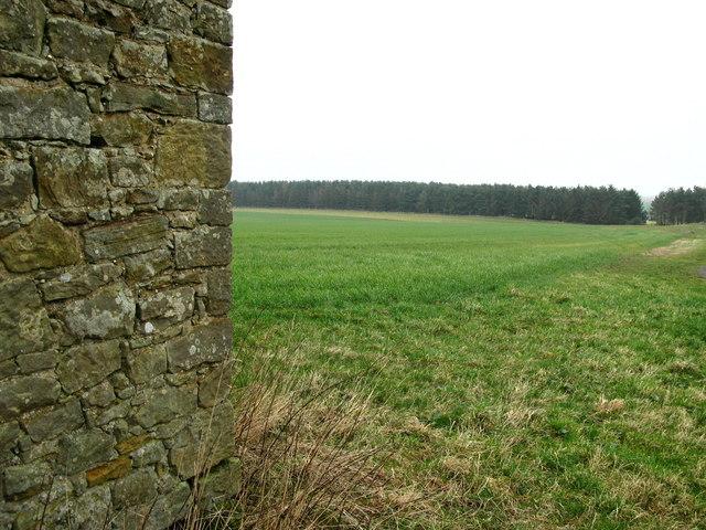 Cuddy Plantation, Near Ancroft