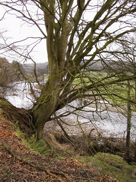 Tree and River Liddel