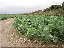 SW7550 : Cabbages by Tony Atkin
