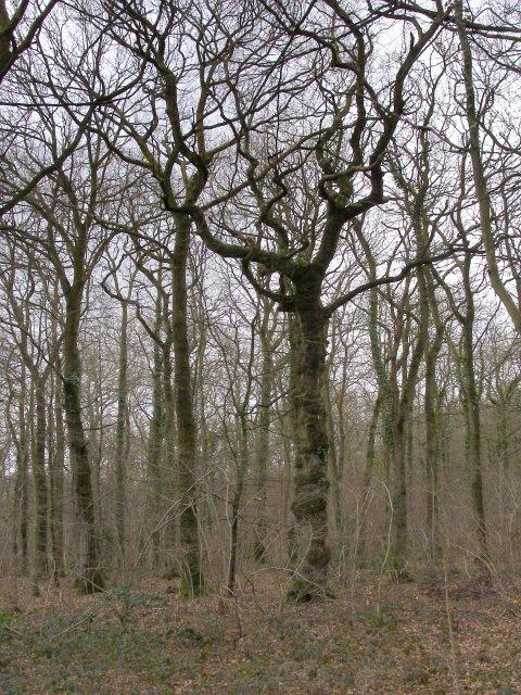 Oak trees in Keeping Copse, Beaulieu Estate