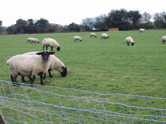 Black face sheep on Vicarage Farm