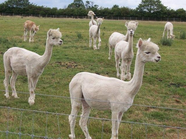 Alpacas near Thurlaston village