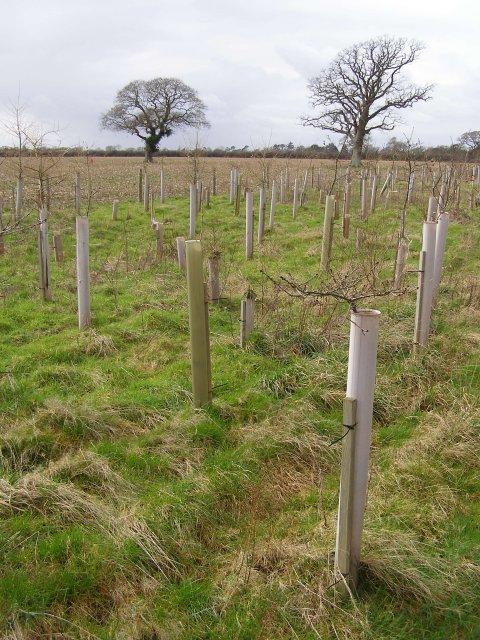 New beech plantation, Harlicks Hill, Beaulieu Estate