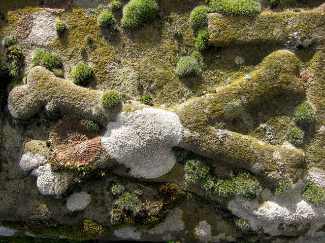 Bones and lichens; Kinneff kirkyard