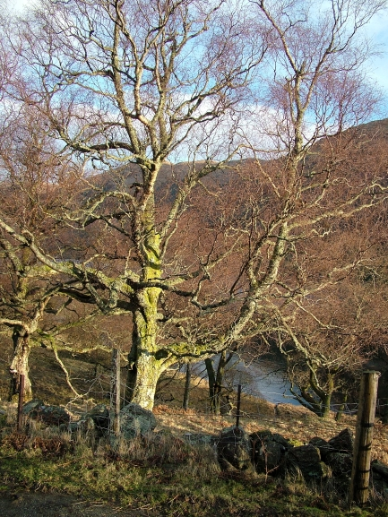 Tree above Loch Doine