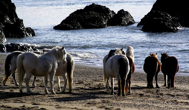 Horses on the beach at the tip of Llanddwyn Island