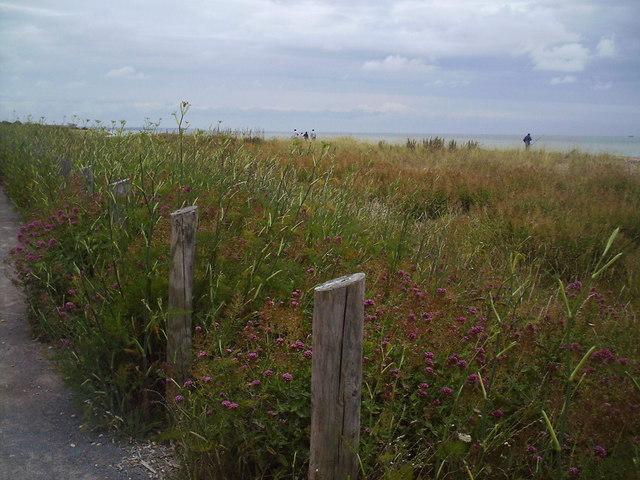 Summer  Sea Shore Flora, Kingsdown