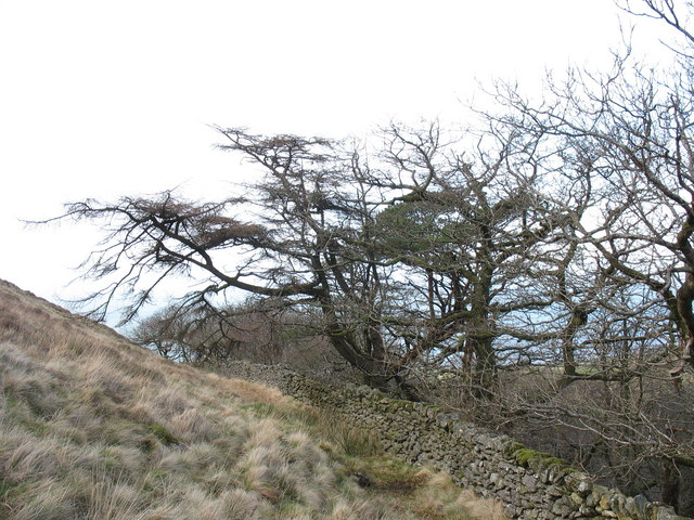 Wind deformed trees at the upper edge of the Cwm-gwared Plantation