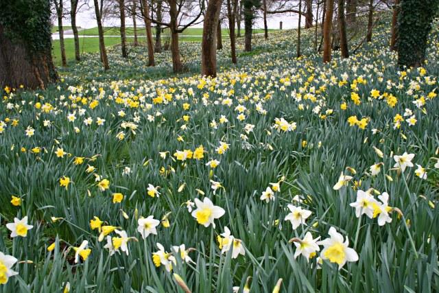 Daffodil Wood, Mount Edgcumbe Park
