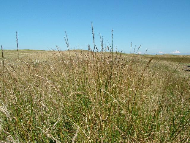 Grassland on Dunes Beside New Downs Farm