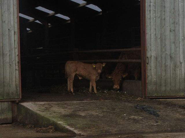 Mother and Calf at Gunnerfleet Farm.