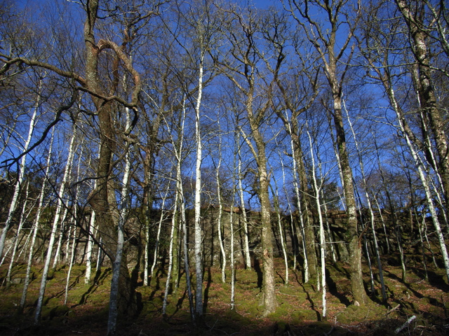 Birch at the side of the road to Achnamara