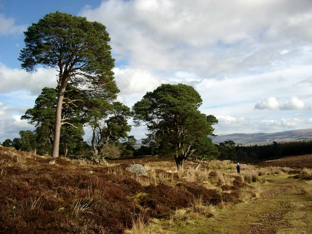 Scots pines on the Cromlet track