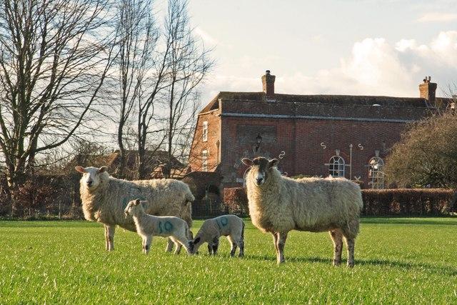 New born lambs at Horton