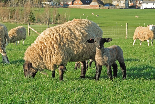 New born lamb at Horton