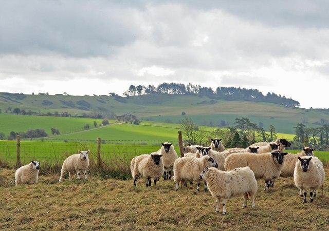 Sheep on ridge of Bokerley Ditch