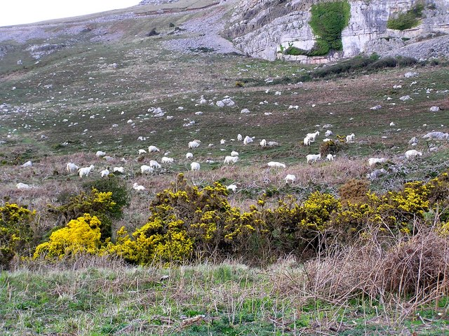 Feral goats on the Great Orme, Llandudno