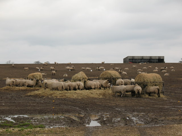 Sheep with hay fodder