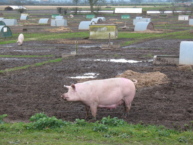 Happy as a Pig in Muck